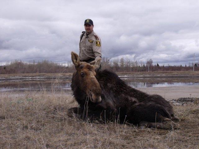 Moose Rescue in Terrace Bay