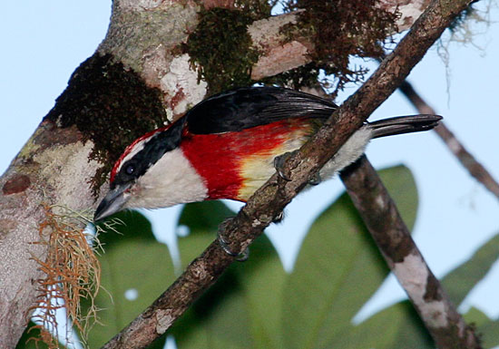 The Sira Barbet, a new species described in the July 2012 issue of The Auk. Photograph by Michael Harvey