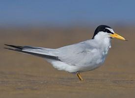 Least Tern Photo