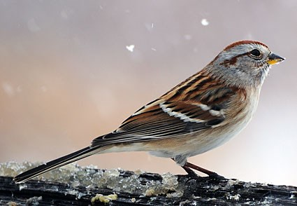 Chipping Sparrow Identification All About Birds