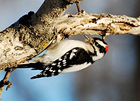Downy Woodpecker Photo