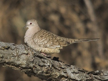 Inca Dove Identification All About Birds  Cornell Lab of Ornithology
