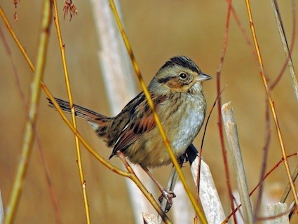 Swamp Sparrow Identification All About Birds  Cornell