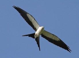Swallow-tailed Kite Photo