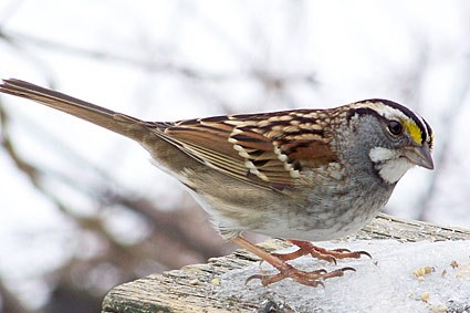 Whitethroated Sparrow Identification All About Birds