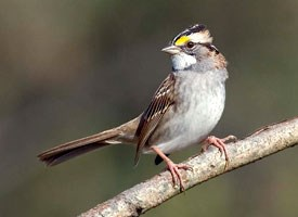 White-throated Sparrow Photo
