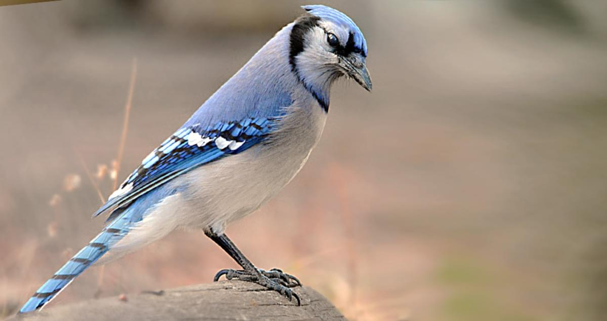 blue jay overview all