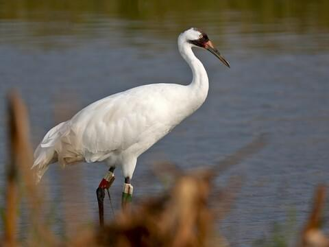 whooping crane identification all