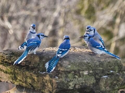 blue jay identification all