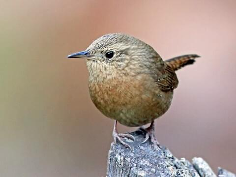house wren identification all