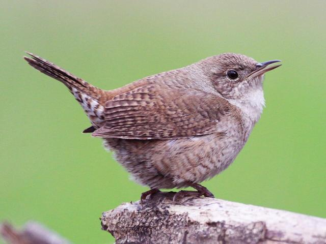 House Wren Adult/immature (Northern)
