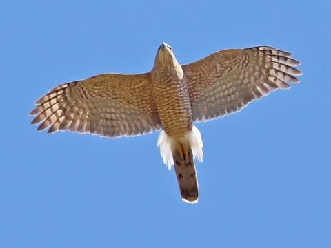 cooper s hawk identification