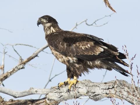 bald eagle identification all