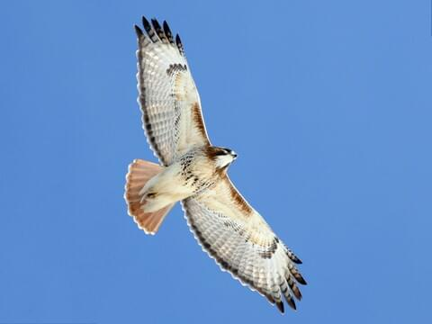 red tailed hawk identification