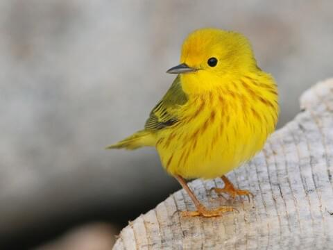 Yellow Warbler Identification, All About Birds, Cornell Lab of ...