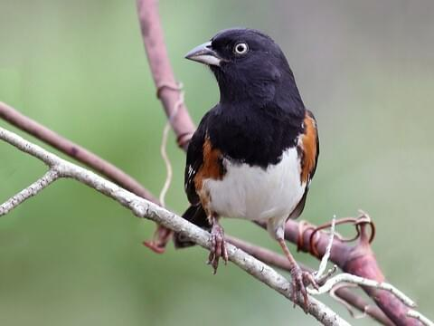 Eastern Towhee Identification All About Birds Cornell Lab Of Ornithology