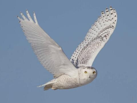 Snowy Owl Identification All About Birds Cornell Lab Of Ornithology