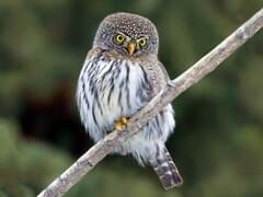 northern pygmy owl overview