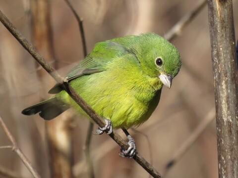 painted bunting identification all
