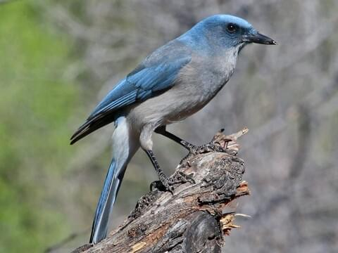 mexican jay identification all