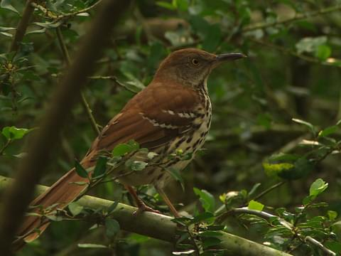 brown thrasher identification all