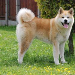 Akita Dog