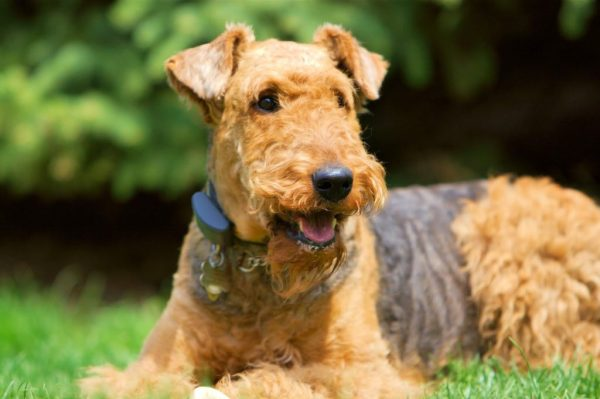 Face-of-Airedale-Terrier-Dog