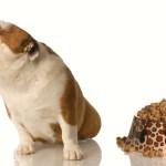 Bulldog Turning Nose Up At Food