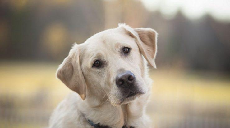 Retriever Labrador