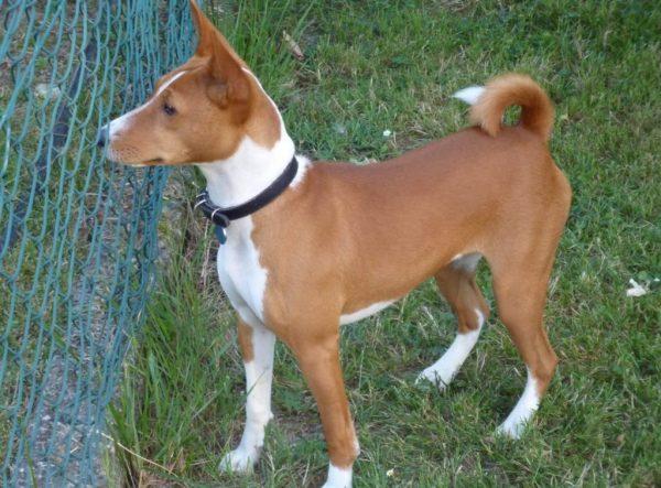 Basenji-dog-3