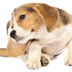 Dog Have Fleas