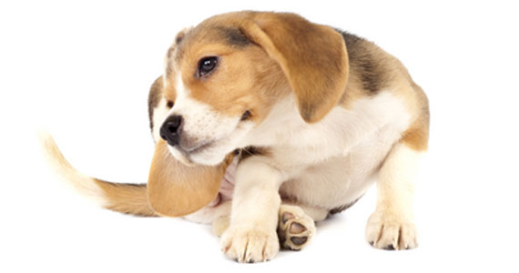 DOG-FLEA-TICK-CONTROL-INTRO