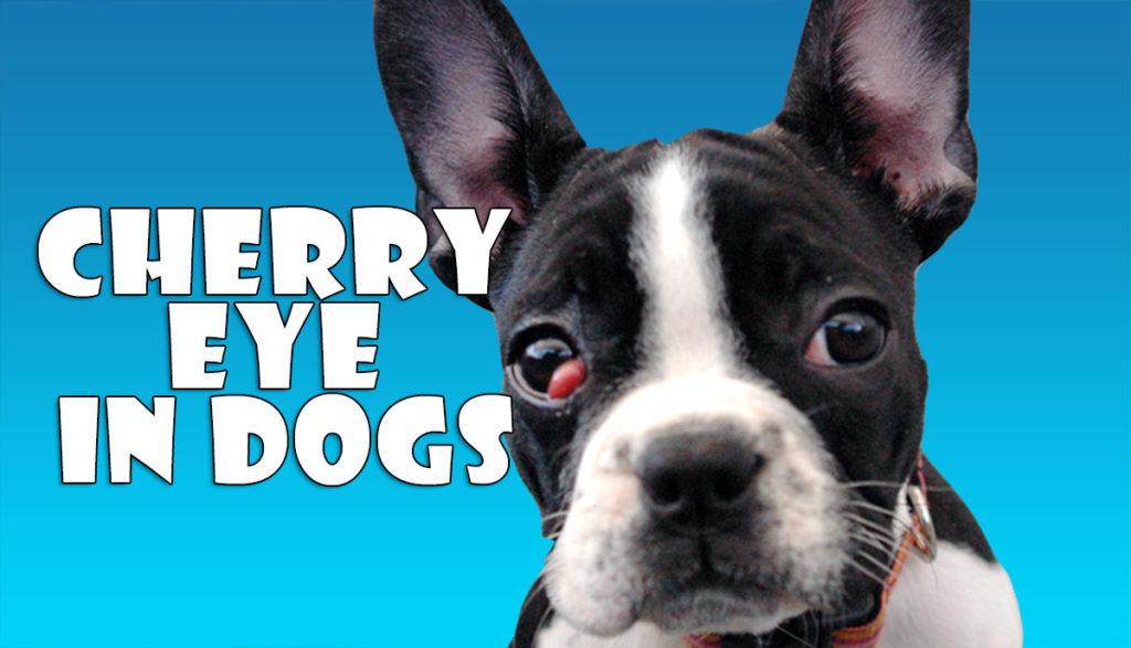 Is Cherry Eye In Dogs Congenital