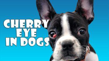 Cherry Eye