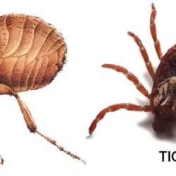 The Differences Between Fleas And Ticks