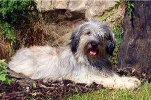 catalan-sheepdog