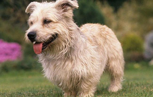 Glen of imaal terrier dog breed information all about dogs glen of imaal terrier altavistaventures