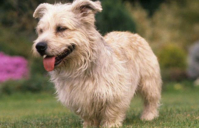Glen of imaal terrier dog breed information all about dogs glen of imaal terrier thecheapjerseys