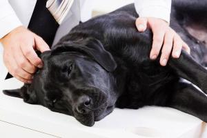 Leg tremors in dogs