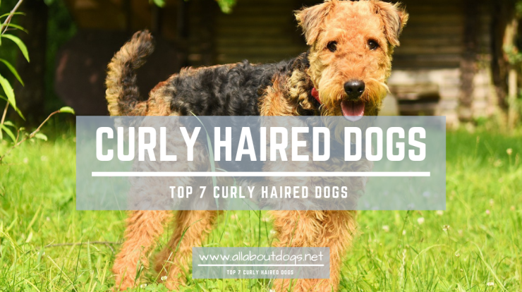 Curly Haired Dogs