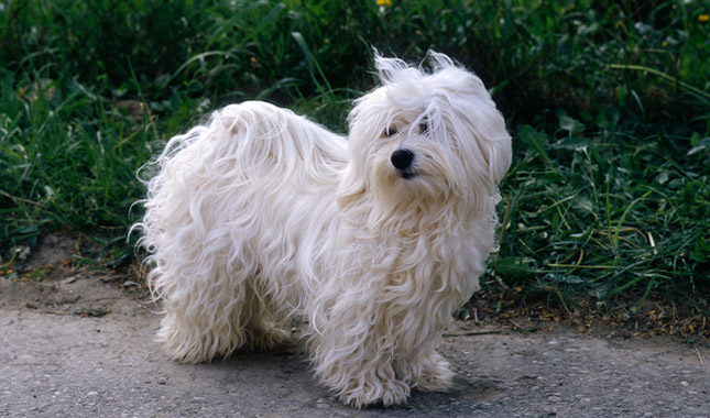 how to cut havanese hair