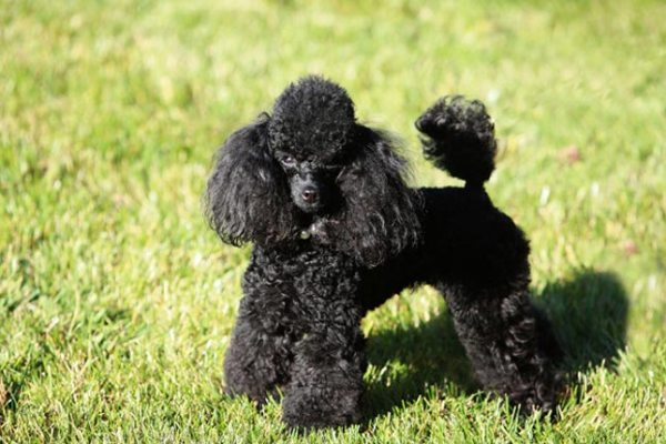 Poodle-Toy