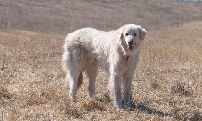 Akbash Dog