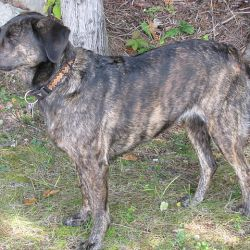 Treeing Tennessee Brindle