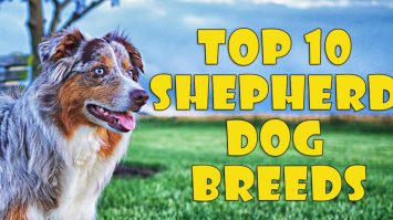 Shepherd Dog Breeds