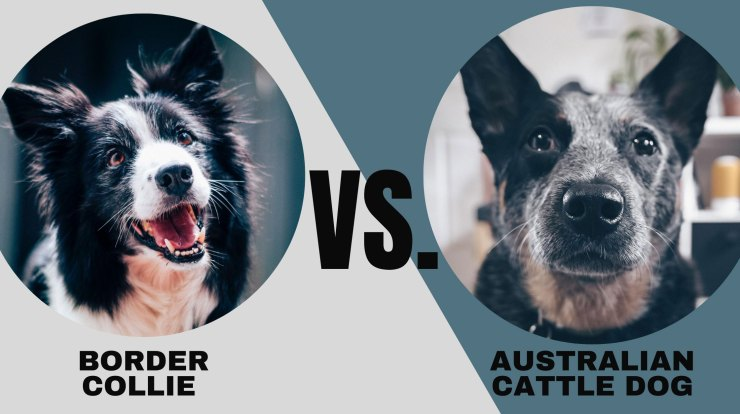 Border Collie vs. Australian Cattle Dog