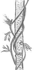 Drawings of Vines