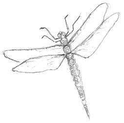Pencil Dragonfly Drawings