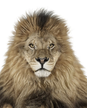 Photo of a Lion by Andrew Zuckerman