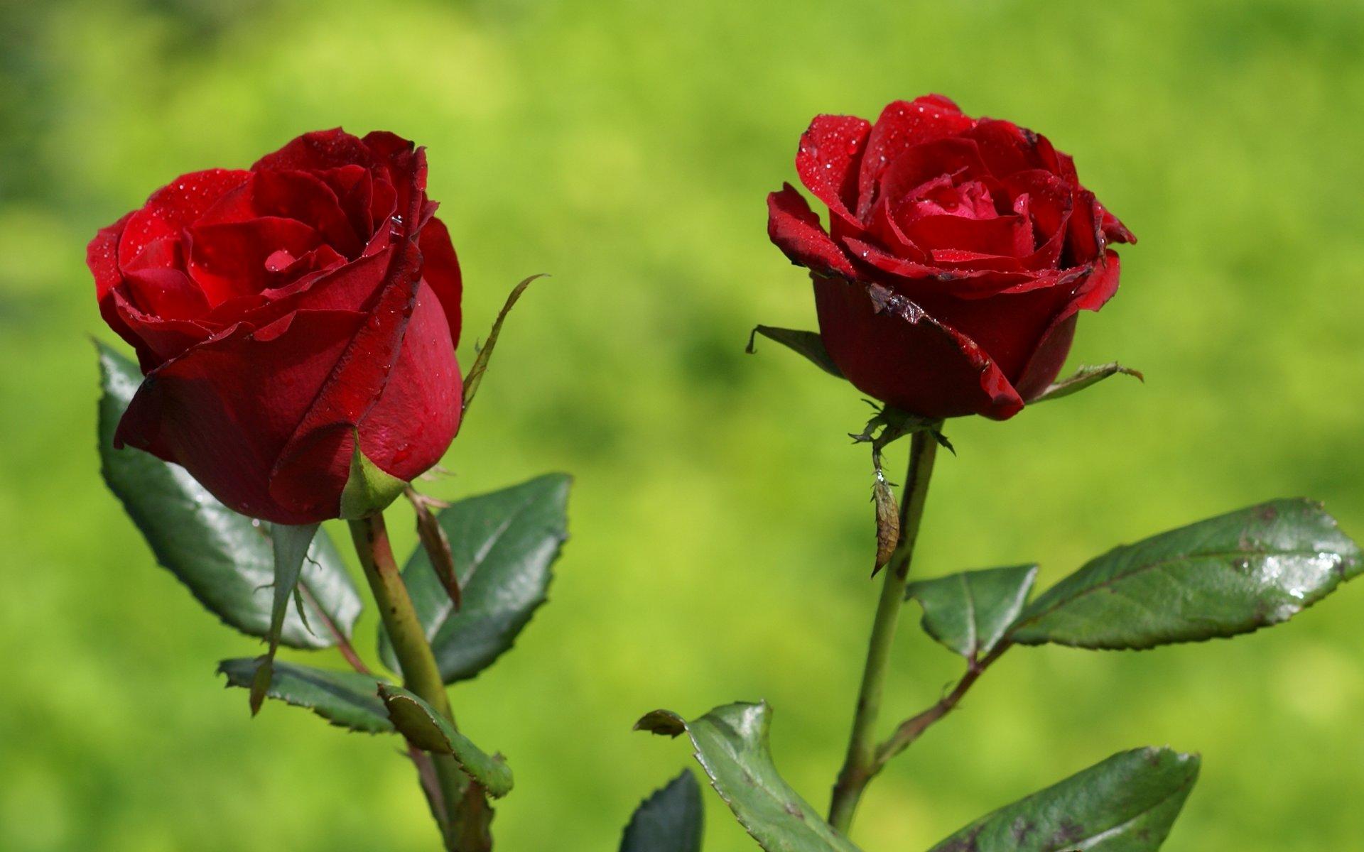 Rosen Bilder  Die schnsten Rosen der Philippinen